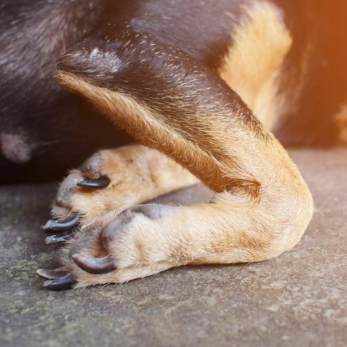Arthroxan dog