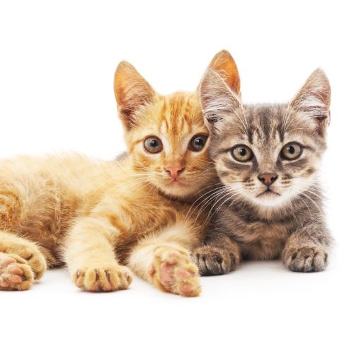 Imunoxan cat
