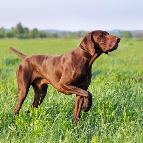 Senseine - wsparcie kondycji psa