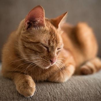 Skinoxan cat