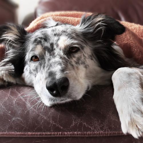 Skinoxan Dog